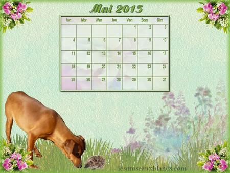 Calendrier mai 2015 chien pinscher