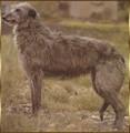 deerhound-levrier-d-ecosse.jpg