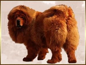 Dogue du tibet - do khyi - mastiff tib tain