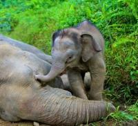 éléphanteau près du cadavre de sa mère