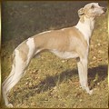 greyhound-levrier-anglais.jpg