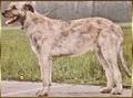 irish-wolfhound-levrier-irlandais.jpg