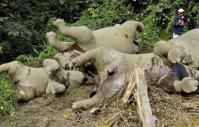 éléphants pygmées morts